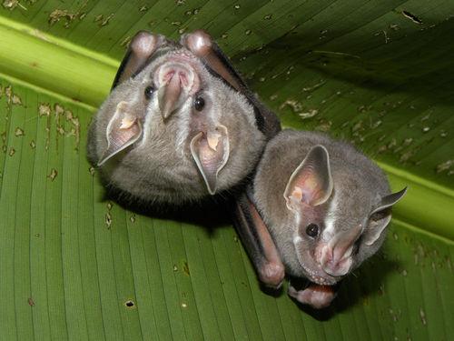 morcego frugivoro02